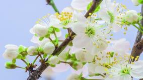 Άγριο λουλούδι δαμάσκηνων timelapse απόθεμα βίντεο
