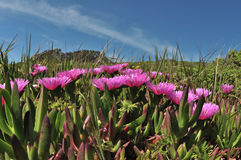 Άγριο λουλούδι ανοίξεων - κρίνος πάγου Στοκ φωτογραφία με δικαίωμα ελεύθερης χρήσης