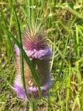 Άγριο λουλούδι κάρδων Στοκ Εικόνα