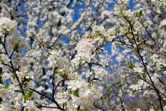 Άγριο λουλούδι κερασιών Στοκ Φωτογραφία