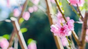 Άγριο λουλούδι κερασιών Himalayan Στοκ φωτογραφίες με δικαίωμα ελεύθερης χρήσης