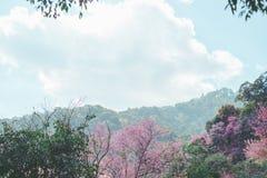 Άγριο λουλούδι κερασιών Himalayan στοκ εικόνες με δικαίωμα ελεύθερης χρήσης