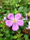 Άγριο λουλούδι με τις πτώσεις δροσιάς Στοκ Εικόνα