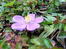 Άγριο λουλούδι με τις πτώσεις δροσιάς Στοκ Φωτογραφία