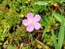 Άγριο λουλούδι με τις πτώσεις δροσιάς Στοκ Φωτογραφίες