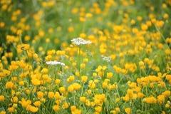 Άγριο λουλούδι παστινακών αγελάδων Στοκ εικόνες με δικαίωμα ελεύθερης χρήσης
