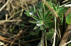 Άγριο λουλούδι πράσινο με την πτώση νερού μέσα Στοκ εικόνες με δικαίωμα ελεύθερης χρήσης