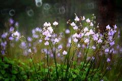 Άγριο λουλούδι στη βροχερή ημέρα, Ταϊλάνδη Στοκ φωτογραφία με δικαίωμα ελεύθερης χρήσης