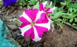 Άγριο λουλούδι στον κήπο Στοκ Εικόνες
