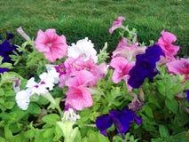 Άγριο λουλούδι στον κήπο Στοκ Φωτογραφία