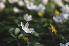 Άγριο λουλούδι την άνοιξη Στοκ φωτογραφία με δικαίωμα ελεύθερης χρήσης