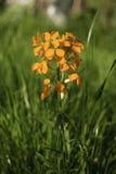Άγριο λουλούδι της άνοιξη θολωμένο υπόβαθρο της πράσινης χλόης Στοκ Εικόνα