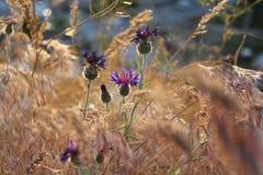 Άγριο λουλούδι της Τουρκίας Στοκ εικόνες με δικαίωμα ελεύθερης χρήσης
