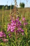 Άγριο λουλούδι του ιτιά-χορταριού στον τομέα βραδιού Στοκ Εικόνες
