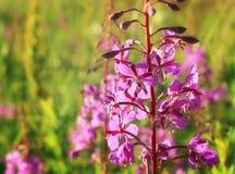 Άγριο λουλούδι του ιτιά-χορταριού στον τομέα βραδιού Στοκ Φωτογραφίες