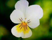 Άγριο λουλούδι Στοκ Φωτογραφίες