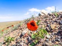 Άγριο λουλούδι Anemone Στοκ φωτογραφίες με δικαίωμα ελεύθερης χρήσης