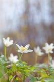 Άγριο λουλούδι Anemone Στοκ Φωτογραφία
