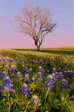 Άγριο λουλούδι Bluebonnet στο Τέξας στοκ φωτογραφία με δικαίωμα ελεύθερης χρήσης