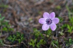 Άγριο λουλούδι coronaria Anemone Στοκ εικόνα με δικαίωμα ελεύθερης χρήσης