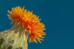 Άγριο λουλούδι Tocalote ερήμων Στοκ Εικόνες