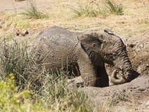 Άγριο παιχνίδι ελεφάντων μωρών αφρικανικό στη λάσπη, εθνικό πάρκο Kruger, Νότια Αφρική Στοκ Φωτογραφίες