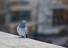 Άγριο περιστέρι στον τοίχο γρανίτη στην πόλη Στοκ Φωτογραφίες