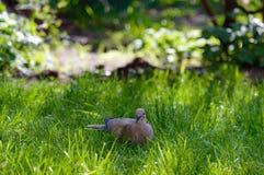Άγριο πιό forrest περιστέρι που κρατά έναν σπόρο στην πράσινη χλόη Στοκ Εικόνες