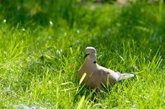 Άγριο πιό forrest περιστέρι που χαλαρώνει στον ήλιο Στοκ Εικόνα