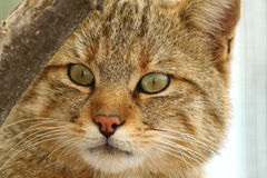 Άγριο πορτρέτο γατών στο ζωολογικό κήπο Στοκ φωτογραφία με δικαίωμα ελεύθερης χρήσης