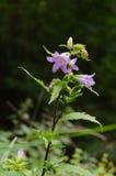 Άγριο πορφυρό λουλούδι Στοκ Εικόνα