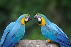 Άγριο πουλί παπαγάλων, μπλε παπαγάλος μεγάλος-πράσινο Macaw, ambigua Ara Στοκ Εικόνα