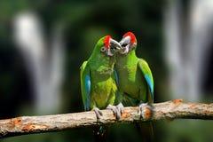 Άγριο πουλί παπαγάλων, πράσινος παπαγάλος μεγάλος-πράσινο Macaw, ambigua Ara Στοκ Φωτογραφίες