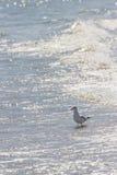 Άγριο πουλί στη ρουμανική παραλία Στοκ Εικόνα