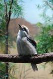 Άγριο πουλί Kookaburra σε έναν κλάδο δέντρων Στοκ εικόνα με δικαίωμα ελεύθερης χρήσης