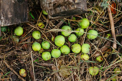 Άγριο πράσινο μήλο στην ξηρά χλόη Στοκ εικόνες με δικαίωμα ελεύθερης χρήσης