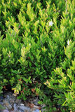 Άγριο πράσινο πυξάρι στο πετρώδες έδαφος Στοκ Εικόνες