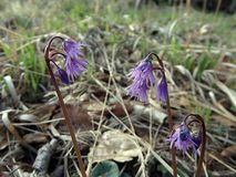 Άγριο ρόδινο ιώδες λουλούδι από το δάσος Στοκ Φωτογραφία