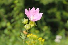 Άγριο ρόδινο mallow στοκ φωτογραφίες με δικαίωμα ελεύθερης χρήσης