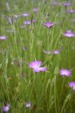 Άγριο ρόδινο λουλούδι Corncockle στη μάζα Στοκ φωτογραφία με δικαίωμα ελεύθερης χρήσης