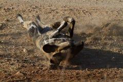 Άγριο σκυλί, επιφύλαξη παιχνιδιού Madikwe στοκ φωτογραφίες