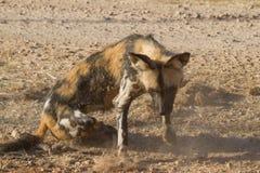 Άγριο σκυλί, επιφύλαξη παιχνιδιού Madikwe στοκ φωτογραφία
