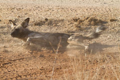 Άγριο σκυλί, επιφύλαξη παιχνιδιού Madikwe στοκ φωτογραφία με δικαίωμα ελεύθερης χρήσης