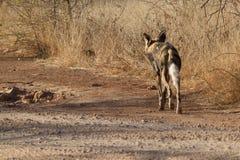 Άγριο σκυλί, επιφύλαξη παιχνιδιού Madikwe στοκ εικόνες