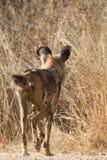 Άγριο σκυλί, επιφύλαξη παιχνιδιού Madikwe στοκ εικόνα με δικαίωμα ελεύθερης χρήσης