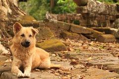 Άγριο σκυλί οδών σε Ankor wat Καμπότζη Στοκ εικόνα με δικαίωμα ελεύθερης χρήσης