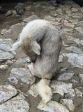 Άγριο σκυλί που καλλωπίζεται Στοκ Εικόνα
