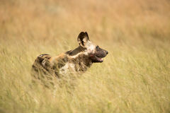 Άγριο σκυλί στα λιβάδια Στοκ εικόνες με δικαίωμα ελεύθερης χρήσης