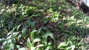 Άγριο σκόρδο την άνοιξη, φυτικό και ιατρικό χορτάρι φιλμ μικρού μήκους