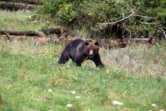 Άγριο σταχτύ Bear2 Στοκ εικόνα με δικαίωμα ελεύθερης χρήσης